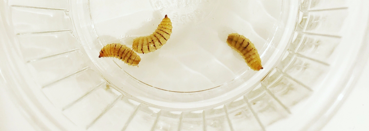 Leopard Gecko Feeder Insect Review: Phoenix Worms