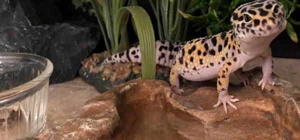 leopard geckos water