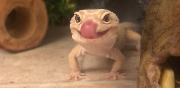 feeding leopard gecko