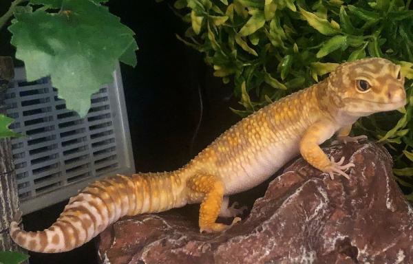 leopard gecko smell, leopard gecko