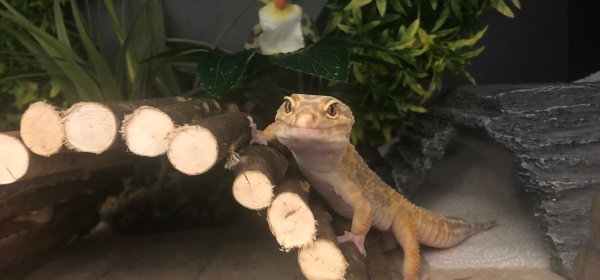 Komodo flexi stix gecko