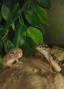 cohabiting leopard geckos
