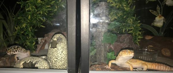 leopard gecko cohabitation