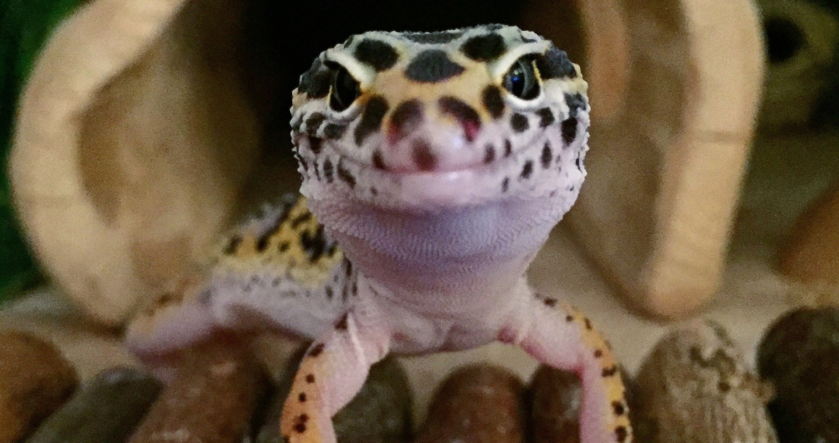 Things to consider before getting a leopard gecko