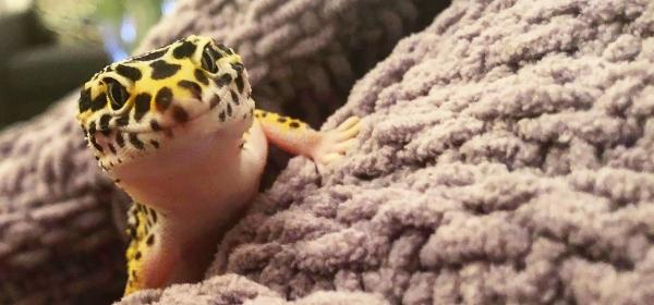 leopard geckos sociable