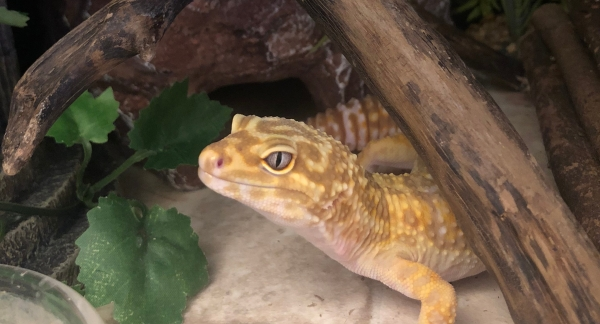 leopard gecko cleaning