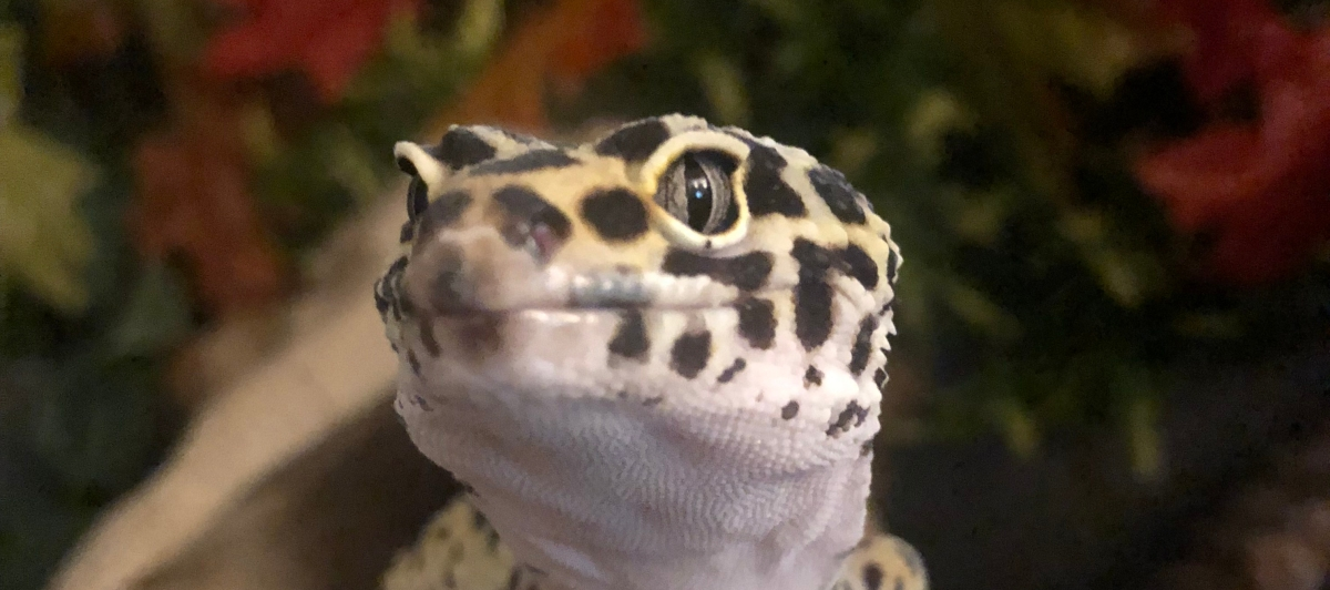 Free download - leopard gecko care sheet