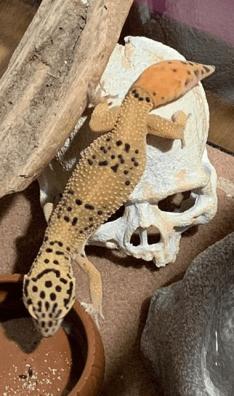 leopard gecko tail regenerate