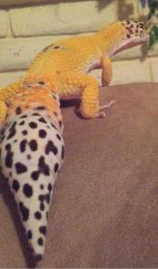 leopard gecko tail regrowth