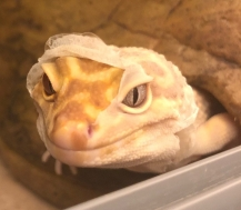 leopard gecko stuck shed