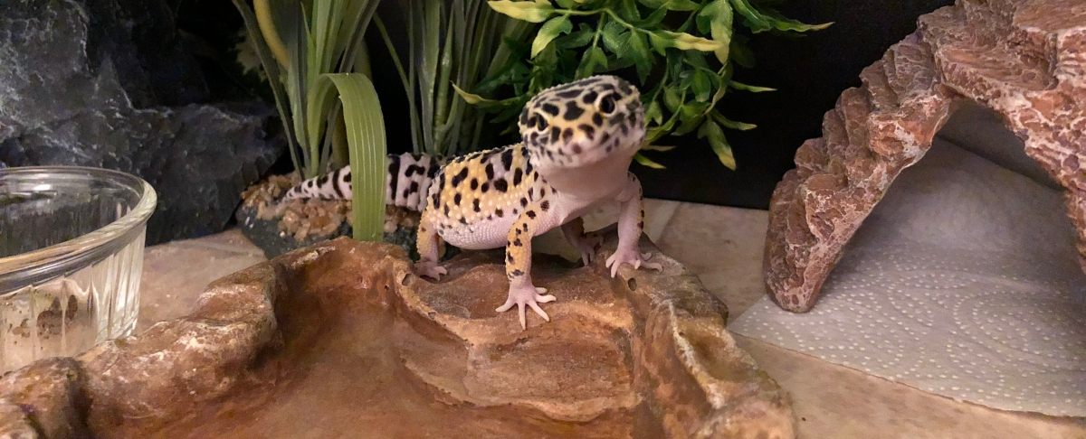 Facts about leopard geckos