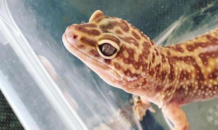 Leopard Gecko Rescue Stories: Wafer – Leopard Gecko Care