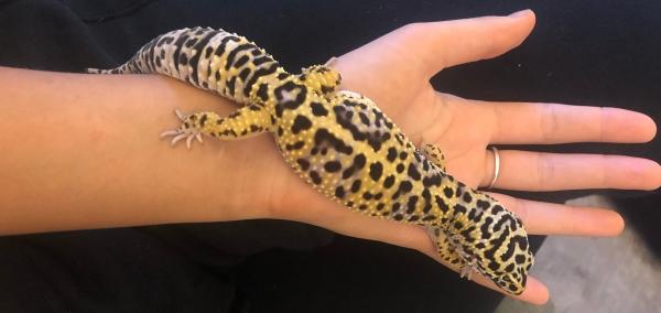 pick up leopard gecko
