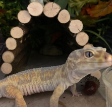pale gecko shed