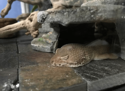 rescue leopard gecko