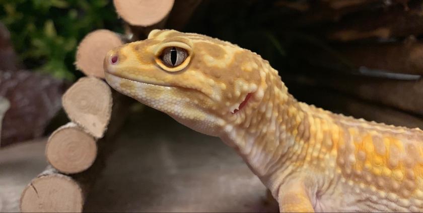leopard gecko names