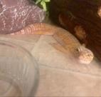 gecko lying down