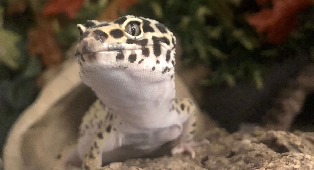Do Leopard Geckos Need Uv Light Leopard Gecko Care