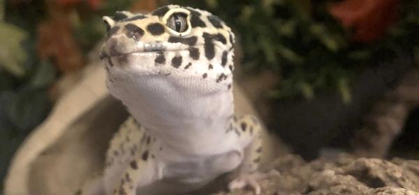 leopard geckos uv light